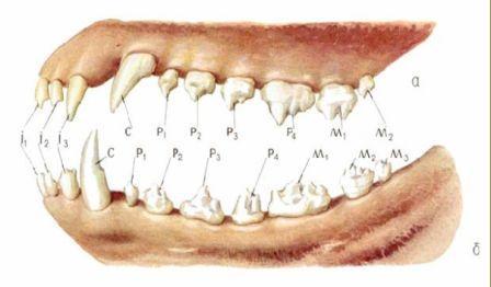...это символическая запись, с помощью цифр и букв, которая показывает расположение, количество и вид зубов в пасти у...